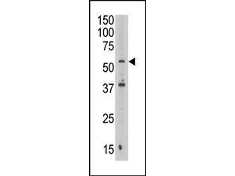 Western Blotting (WB) image for anti-MAFK (AA 57-85), (C-Term) antibody (ABIN390155)