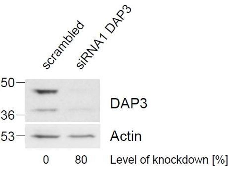 Image no. 2 for anti-DAP3 antibody (Death-Associated Protein 3) (C-Term) (ABIN184743)