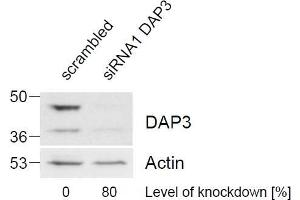 anti-Death-Associated Protein 3 (DAP3) (C-Term) antibody (2)