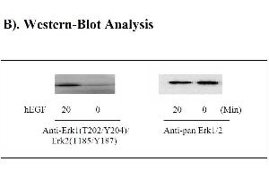 image for MAPK3 ELISA Kit (Mitogen-Activated Protein Kinase 3) (ABIN625226)