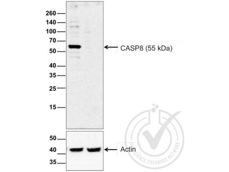 Western Blotting (WB) image for anti-Caspase 8 Antikörper (Caspase 8, Apoptosis-Related Cysteine Peptidase) (AA 430-482) (ABIN724205)