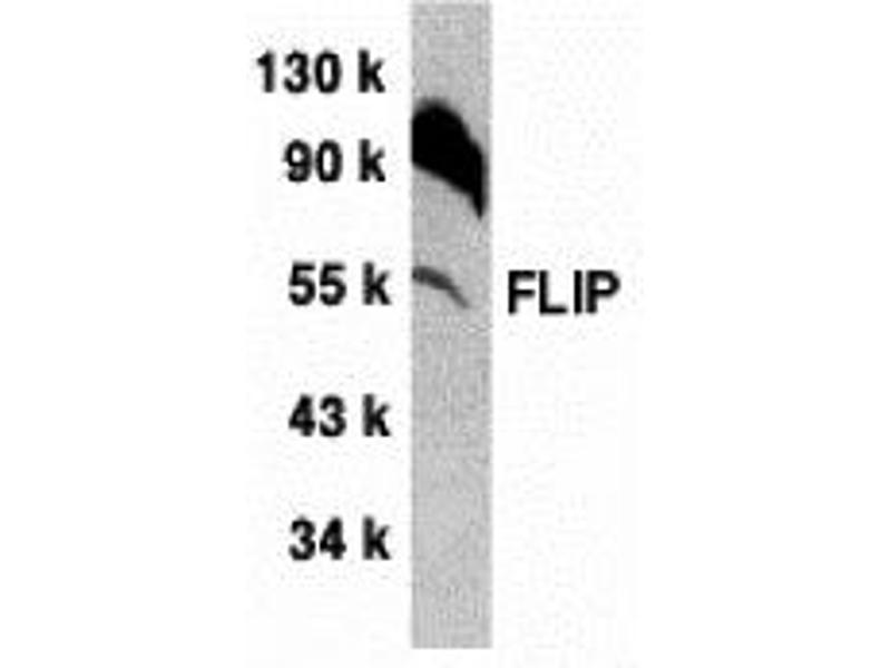 Western Blotting (WB) image for anti-CFLAR antibody (CASP8 and FADD-Like Apoptosis Regulator) (AA 449-465) (ABIN2440658)