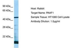 Image no. 1 for anti-Proteasomal ATPase-Associated Factor 1 (PAAF1) (AA 57-106) antibody (ABIN6750063)