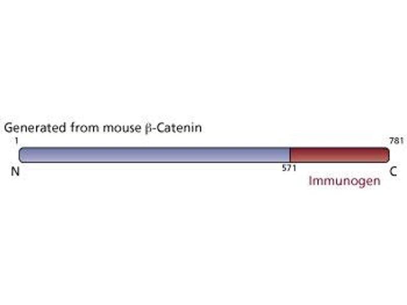 image for anti-beta Catenin antibody (Catenin, beta) (AA 571-781) (ABIN967785)