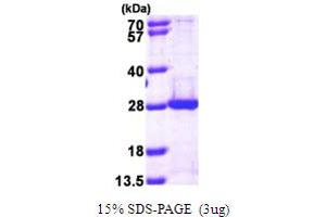 Image no. 1 for Proteasome (Prosome, Macropain) Subunit, beta Type, 5 (PSMB5) (AA 60-263) protein (His tag) (ABIN667858)