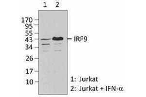 Western Blotting (WB) image for anti-IRF9 Antikörper (Interferon Regulatory Factor 9) (ABIN2666230)