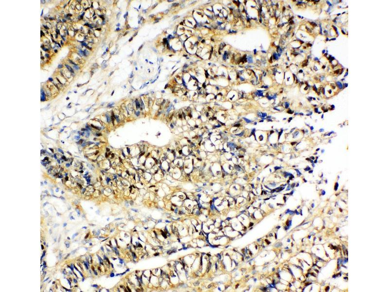Immunohistochemistry (IHC) image for anti-P18 (AA 137-152), (C-Term) antibody (ABIN3044198)
