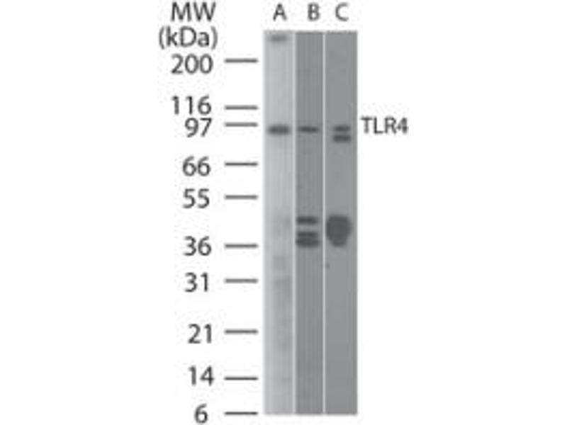 Western Blotting (WB) image for anti-Toll-Like Receptor 4 (TLR4) antibody (ABIN252522)