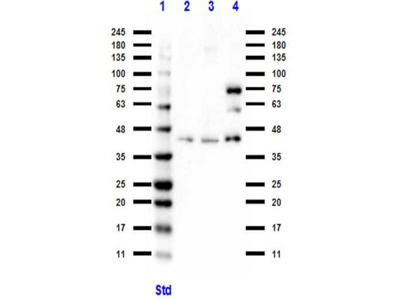 Western Blotting (WB) image for anti-B-Cell CLL/lymphoma 3 (BCL3) (C-Term) antibody (ABIN6655290)