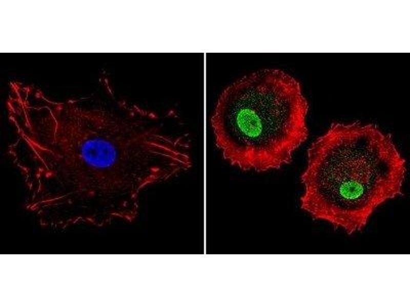 Immunofluorescence (IF) image for anti-Nuclear Receptor Subfamily 1, Group H, Member 3 (NR1H3) antibody (ABIN4331875)
