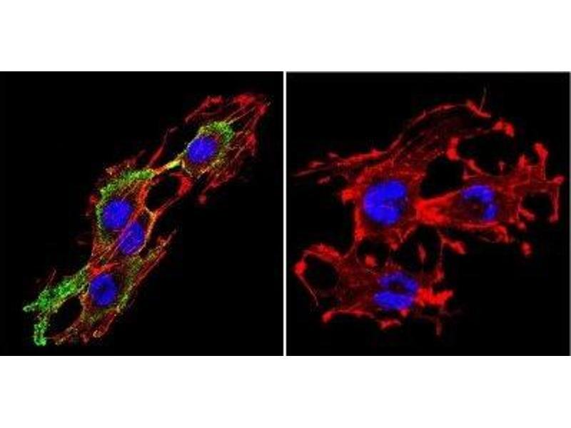 Immunofluorescence (IF) image for anti-Prolactin Receptor (PRLR) antibody (ABIN152690)