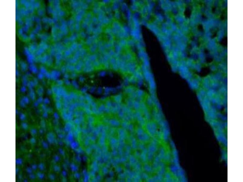Immunofluorescence (IF) image for anti-Brain-Derived Neurotrophic Factor (BDNF) antibody (ABIN409227)