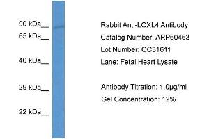 Image no. 1 for anti-Lysyl Oxidase-Like 4 (LOXL4) (Middle Region) antibody (ABIN2788454)