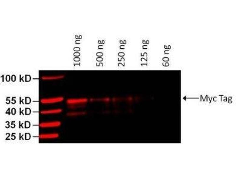 Western Blotting (WB) image for anti-C-MYC antibody (V-Myc Myelocytomatosis Viral Oncogene Homolog (Avian))  (DyLight 680) (ABIN4285725)