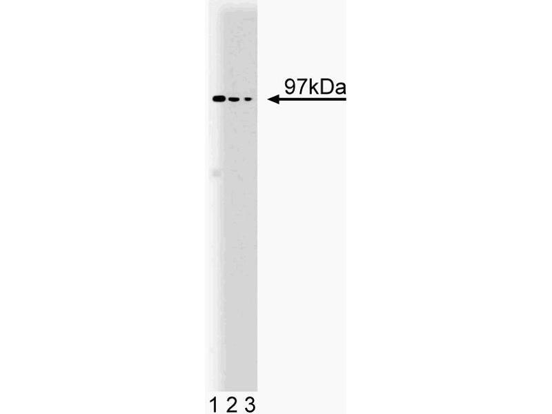 Western Blotting (WB) image for anti-Valosin Containing Protein (vcp) (AA 9-130) antibody (ABIN968778)