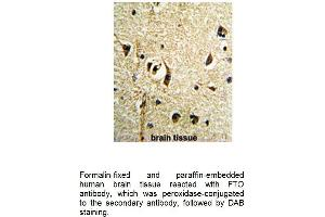 Image no. 2 for anti-Fat Mass and Obesity-Associated (FTO) (AA 1-30), (N-Term) antibody (ABIN1981413)