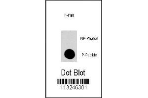 Dot Blot (DB) image for anti-MAPK14 antibody (Mitogen-Activated Protein Kinase 14) (ABIN2445350)