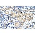 anti-KCNAB2 antibody (Potassium Voltage-Gated Channel, Shaker-Related Subfamily, beta Member 2) (Middle Region)
