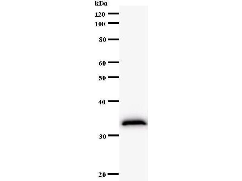 Western Blotting (WB) image for anti-Lysine (K)-Specific Demethylase 1A (KDM1A) antibody (ABIN933129)
