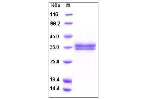 Image no. 1 for Kallikrein-Related Peptidase 13 (KLK13) (AA 1-262), (Proform) (Active) protein (His tag) (ABIN2002320)