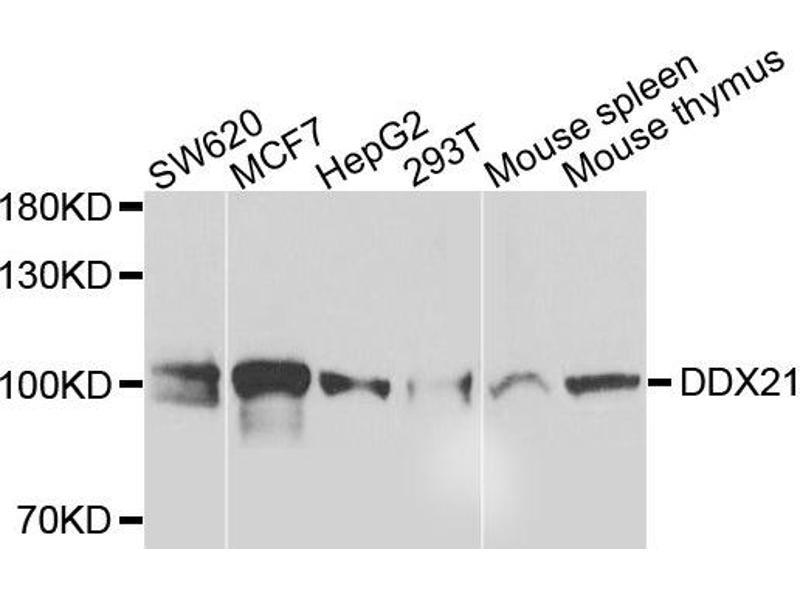 Image no. 1 for anti-DEAD (Asp-Glu-Ala-Asp) Box Polypeptide 21 (DDX21) antibody (ABIN2562175)