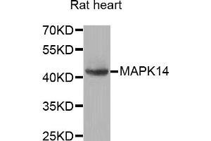 Western Blotting (WB) image for anti-Mitogen-Activated Protein Kinase 14 (MAPK14) antibody (ABIN2737306)