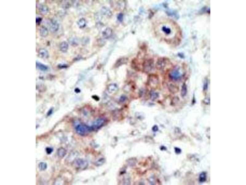 Immunohistochemistry (Paraffin-embedded Sections) (IHC (p)) image for anti-EPH Receptor B3 (EPHB3) (N-Term) antibody (ABIN359815)