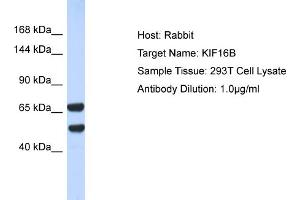 Image no. 1 for anti-Kinesin Family Member 16B (KIF16B) (N-Term) antibody (ABIN2778253)