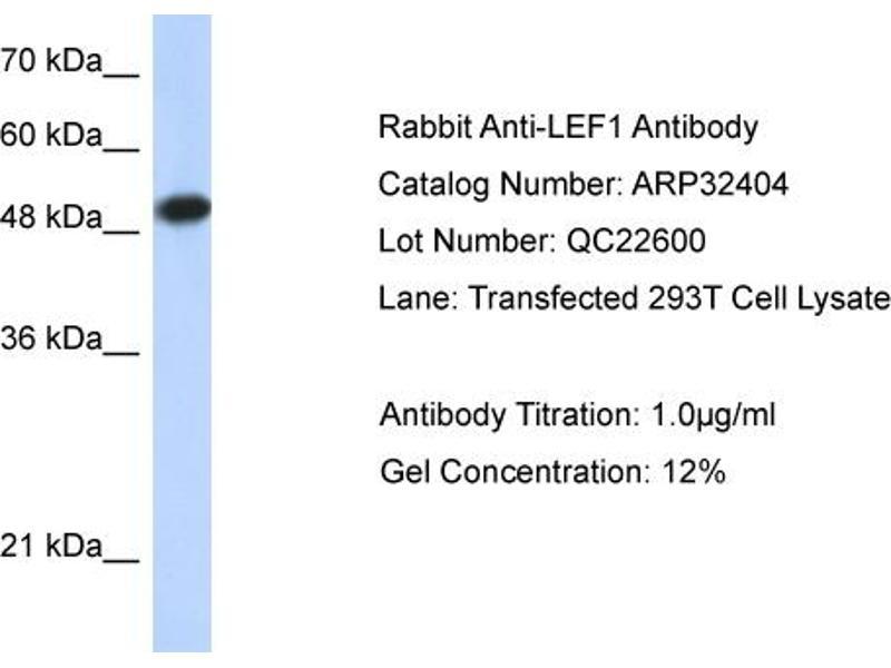 Western Blotting (WB) image for anti-Lymphoid Enhancer-Binding Factor 1 (LEF1) (Middle Region) antibody (ABIN2779621)