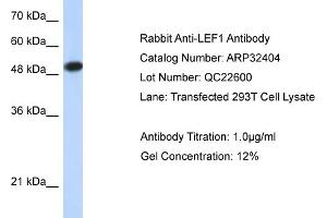 Western Blotting (WB) image for anti-Lymphoid Enhancer-Binding Factor 1 (LEF1) (Middle Region) antibody (ABIN2779621)