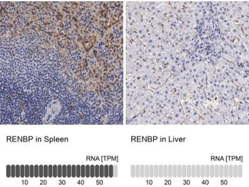 Immunohistochemistry (Paraffin-embedded Sections) (IHC (p)) image for anti-Renin Binding Protein (RENBP) antibody (ABIN4349989)