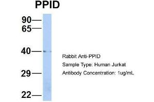 Image no. 3 for anti-Peptidylprolyl Isomerase D (PPID) (Middle Region) antibody (ABIN2786802)