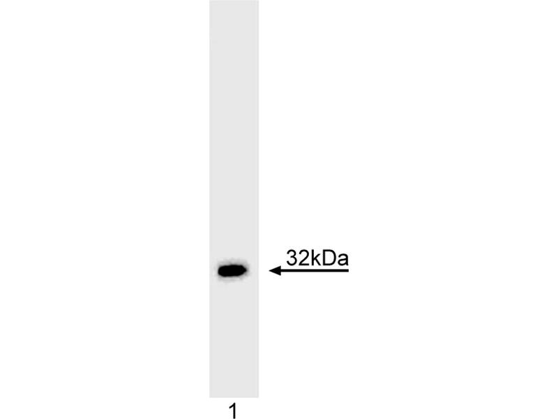 Western Blotting (WB) image for anti-TNFSF10 antibody (Tumor Necrosis Factor (Ligand) Superfamily, Member 10) (ABIN967538)