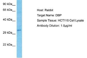 Image no. 4 for anti-D Site of Albumin Promoter (Albumin D-Box) Binding Protein (DBP) (Middle Region) antibody (ABIN2777367)