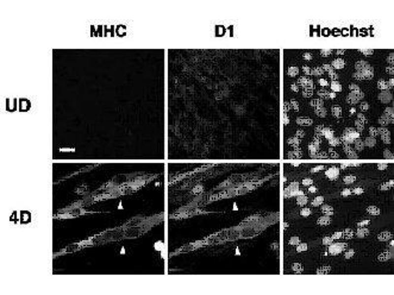 Immunofluorescence (IF) image for anti-Melanoma Antigen Family D, 1 (MAGED1) (AA 1-775) antibody (ABIN2452045)