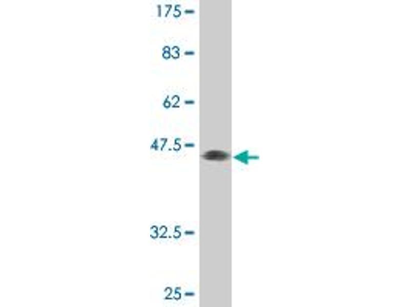 Image no. 4 for anti-MAX Interactor 1 (MXI1) (AA 1-182) antibody (ABIN518116)