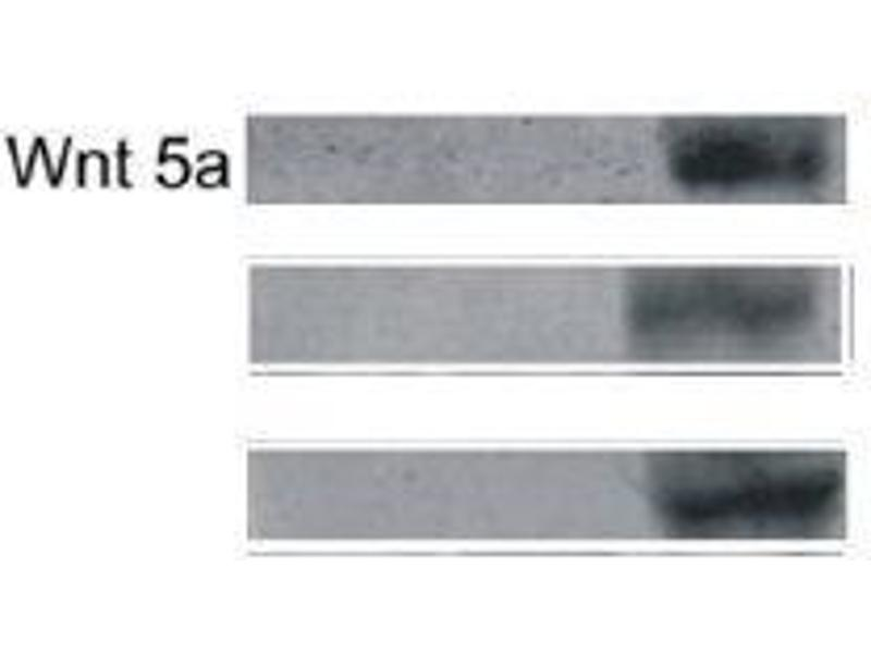 Western Blotting (WB) image for anti-WNT5A antibody (Wingless-Type MMTV Integration Site Family, Member 5A) (AA 330-380) (ABIN675758)