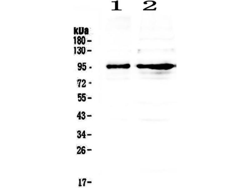 Western Blotting (WB) image for anti-Discs, Large Homolog 4 (Drosophila) (DLG4) (AA 581-724) antibody (ABIN3043563)