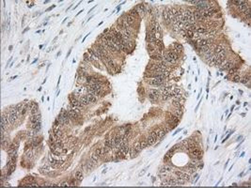 Image no. 1 for anti-Acetyl-CoA Acetyltransferase 2 (ACAT2) antibody (ABIN1496403)