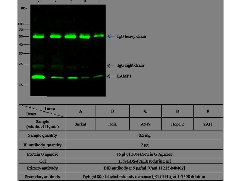 Western Blotting (WB) image for anti-BH3 Interacting Domain Death Agonist (BID) (AA 1-195) antibody (ABIN1996891)