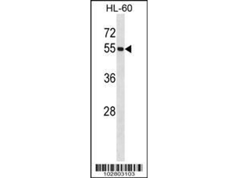 Western Blotting (WB) image for anti-UBA3 antibody (Ubiquitin-Like Modifier Activating Enzyme 3) (AA 415-445) (ABIN387909)