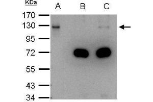Image no. 6 for anti-Damage Specific DNA Binding Protein 1 (DDB1) (C-Term) antibody (ABIN2857079)
