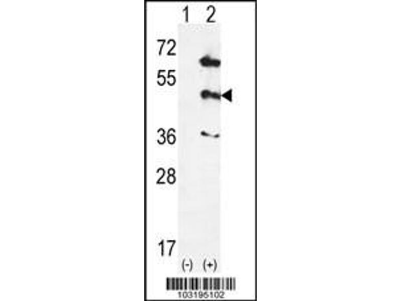 Western Blotting (WB) image for anti-MAPK12 antibody (Mitogen-Activated Protein Kinase 12) (Center) (ABIN2447975)