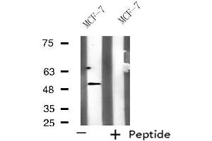 Image no. 1 for anti-Potassium Voltage-Gated Channel, Subfamily G, Member 3 (KCNG3) antibody (ABIN6258651)