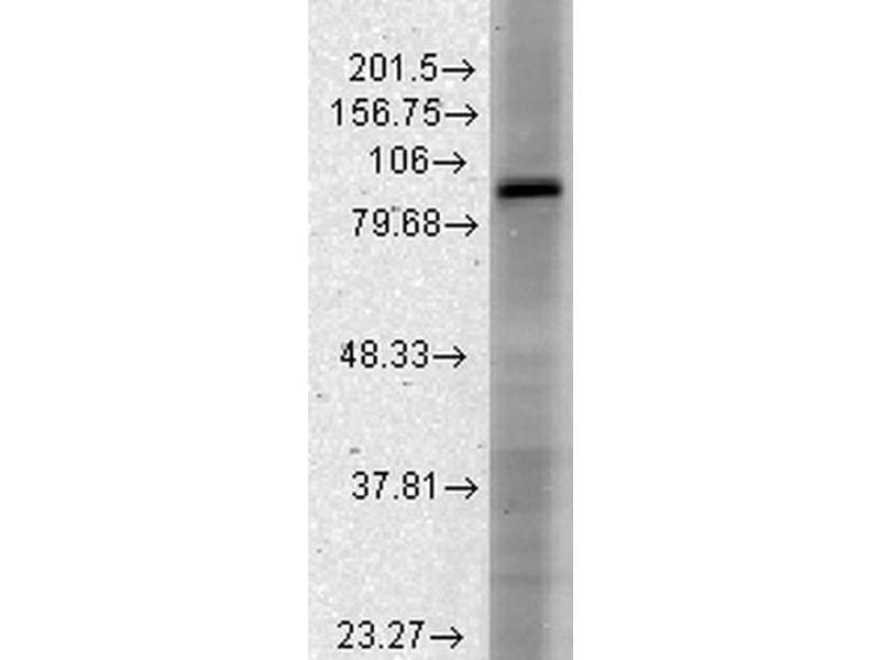 Western Blotting (WB) image for anti-Hyperpolarization Activated Cyclic Nucleotide-Gated Potassium Channel 3 (HCN3) (AA 660-779) antibody (APC) (ABIN2483844)