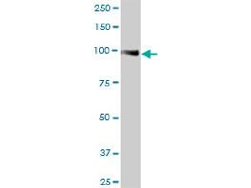 Western Blotting (WB) image for anti-Membrane Metallo-Endopeptidase (MME) (AA 1-750), (full length) antibody (ABIN948133)