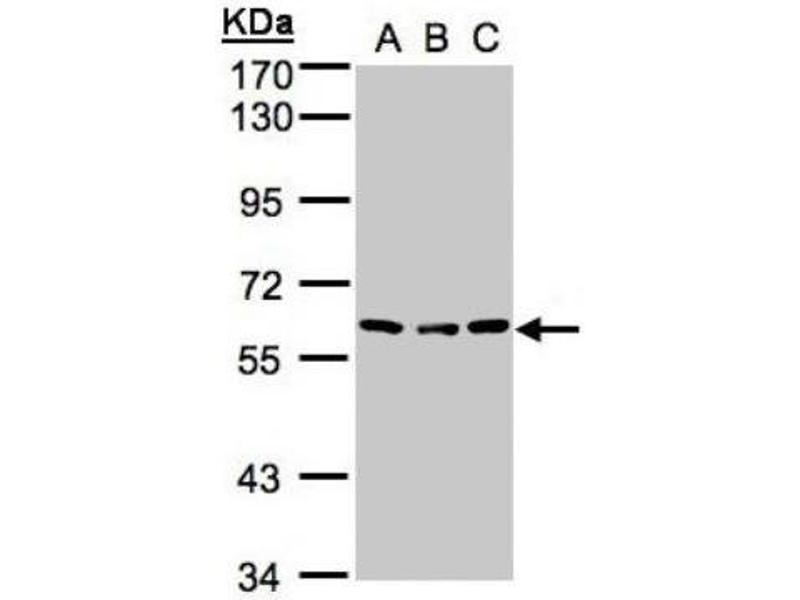 Western Blotting (WB) image for anti-Angiopoietin 4 antibody (ANGPT4) (N-Term) (ABIN442571)