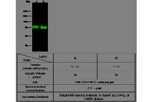 Western Blotting (WB) image for anti-Angiopoietin 2 antibody (ANGPT2) (AA 1-496) (ABIN1997235)