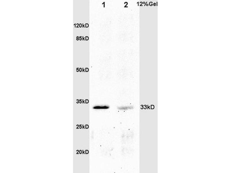 SDS-PAGE (SDS) image for anti-CrkL antibody (V-Crk Sarcoma Virus CT10 Oncogene Homolog (Avian)-Like) (AA 230-270) (ABIN703420)
