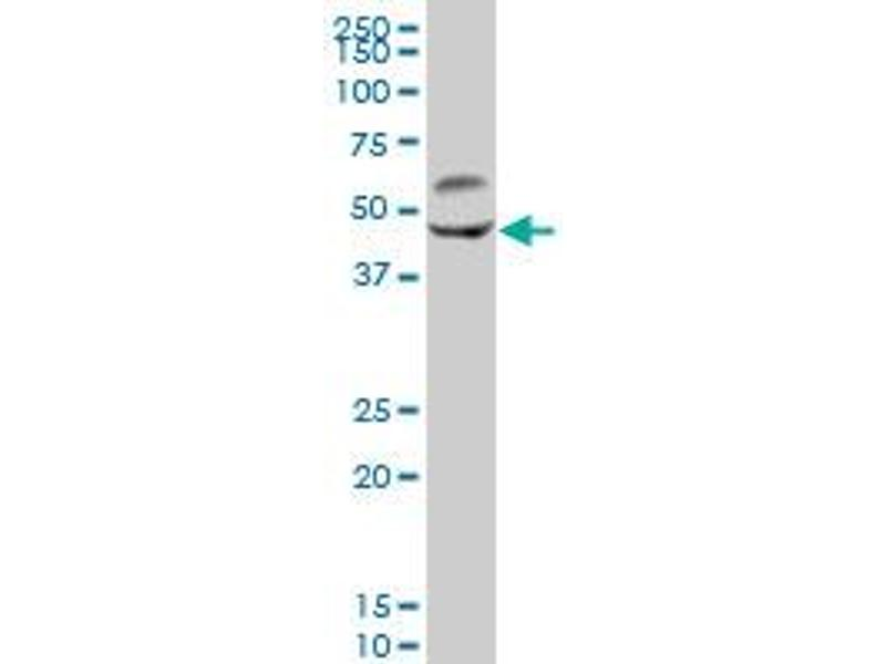 Western Blotting (WB) image for anti-Calcium/calmodulin-Dependent Protein Kinase II gamma (CAMK2G) (AA 1-527), (full length) antibody (ABIN513983)
